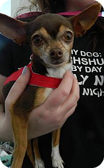 Chihuahua Dog for adoption in Henderson, Nevada - Hershey
