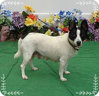 Rat Terrier Dog for adoption in Marietta, Georgia - VELMA (R)