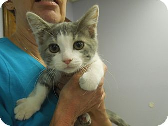 Domestic Shorthair Kitten for adoption in Medina, Ohio - Grace