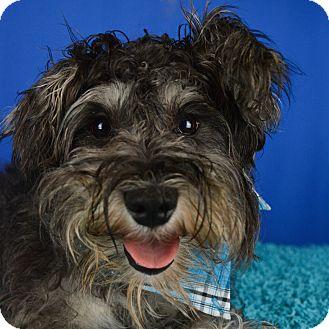 Schnauzer (Miniature) Mix Dog for adoption in Glastonbury, Connecticut - King