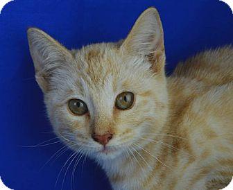 Domestic Shorthair Kitten for adoption in LAFAYETTE, Louisiana - TIGGER