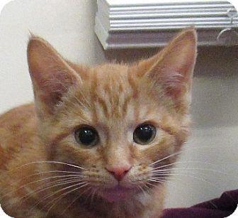 Domestic Shorthair Kitten for adoption in Lloydminster, Alberta - Harley
