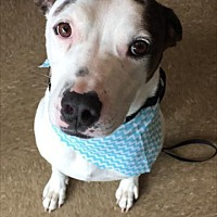 Pit Bull Terrier Mix Dog for adoption in Keyport, New Jersey - Wesley