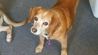 Beagle Mix Dog for adoption in PLAINFIELD, Indiana - Miss Millie