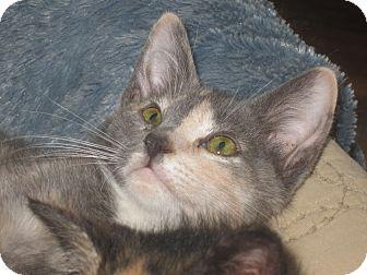Calico Kitten for adoption in Newtown, Connecticut - Verrazano