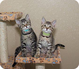 Domestic Shorthair Kitten for adoption in Seville, Ohio - Milo and Murphy