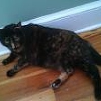 Domestic Shorthair Cat for adoption in Manchester, Connecticut - Cheetah
