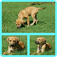 Adopt A Pet :: Lucy Lou - Knoxville, TN