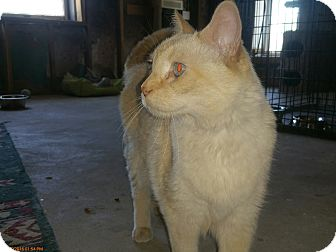 Balinese Cat for adoption in Grand Junction, Colorado - Yang