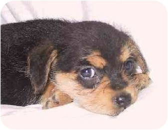 Cockapoo/Terrier (Unknown Type, Medium) Mix Puppy for adoption in Mountain Home, Arkansas - Fiona
