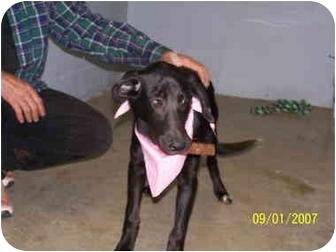 Labrador Retriever Mix Puppy for adoption in Shelbyville, Kentucky - Riley