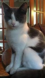 Domestic Shorthair Cat for adoption in Crown Point, Indiana - Scaredy Cat (Cry Baby)