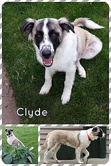 Anatolian Shepherd/Great Pyrenees Mix Dog for adoption in Tomah, Wisconsin - Clyde