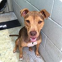 Adopt A Pet :: Nina - Kirby, TX