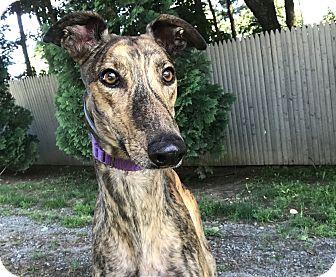 Greyhound Dog for adoption in Swanzey, New Hampshire - Lorenzo