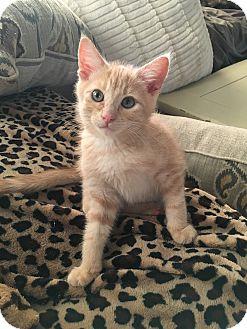 Domestic Shorthair Kitten for adoption in Boise, Idaho - Wilfred