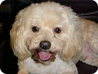 Lhasa Apso Dog for adoption in Anderson, South Carolina - Fred