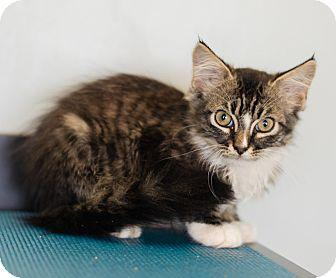 Domestic Longhair Kitten for adoption in Seneca, South Carolina - Henry $75