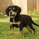 Adopt A Pet :: PUPPY REESIE GIRL