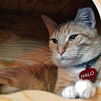 Adopt A Pet :: Halo - Richmond, VA