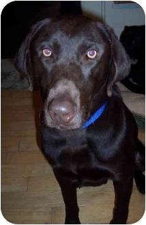 Labrador Retriever Dog for adoption in Evergreen, Colorado - Casper