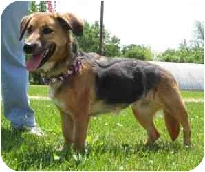 Terrier (Unknown Type, Medium)/German Shepherd Dog Mix Dog for adoption in Tipton, Iowa - Sheena