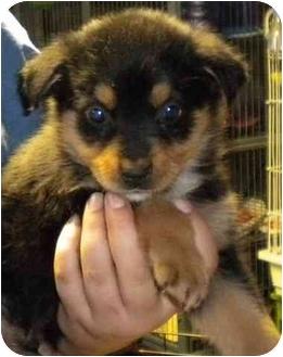 German Shepherd Dog/Rottweiler Mix Puppy for adoption in Hammonton, New Jersey - Comet & Cupid