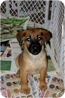 Shepherd (Unknown Type) Mix Puppy for adoption in Bel Air, Maryland - Dixon