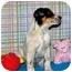 Photo 4 - Australian Cattle Dog/Australian Cattle Dog Mix Puppy for adoption in Broomfield, Colorado - Bruce Willis