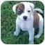 Photo 2 - American Bulldog Mix Puppy for adoption in Franklin, Virginia - Rascal