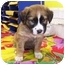 Photo 1 - Labrador Retriever/St. Bernard Mix Puppy for adoption in Franklin, Virginia - Sophia
