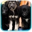 Photo 2 - Border Collie/German Shepherd Dog Mix Puppy for adoption in Portland, Oregon - Ariel