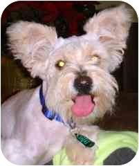 Poodle (Miniature)/Schnauzer (Miniature) Mix Dog for adoption in Canton, Texas - Toby