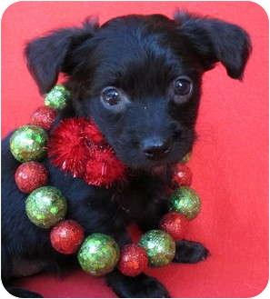 Schnauzer (Miniature)/Poodle (Miniature) Mix Puppy for adoption in Irvine, California - Mistletoe