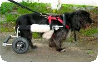 Schnauzer (Miniature) Mix Dog for adoption in Norwalk, Connecticut - Bella