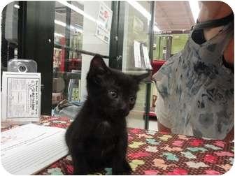 Domestic Shorthair Kitten for adoption in Phoenix, Arizona - Keith