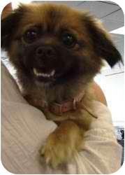 Pomeranian Mix Dog for adoption in Kalamazoo, Michigan - Apple