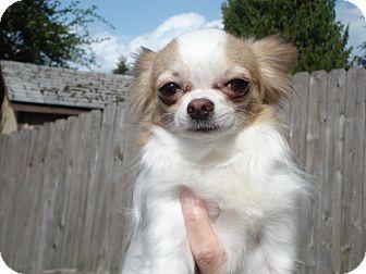 Chihuahua Dog for adoption in Seattle, Washington - PNut