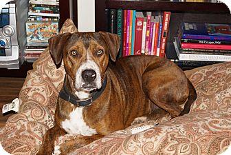 Boxer Mix Dog for adoption in Houston, Texas - Flukinger