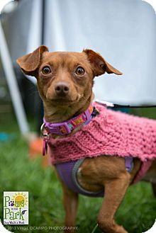 Miniature Pinscher Mix Dog for adoption in Myersville, Maryland - Grace