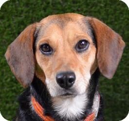 Beagle/Shepherd (Unknown Type) Mix Dog for adoption in Minneapolis, Minnesota - Kaya