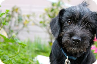 Terrier (Unknown Type, Small)/Poodle (Miniature) Mix Puppy for adoption in Los Angeles, California - Leonardo