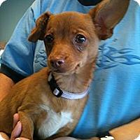Adopt A Pet :: Evie - Phoenix, AZ