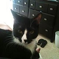 Domestic Shorthair Cat for adoption in New York, New York - Dante
