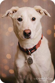Labrador Retriever Mix Dog for adoption in Portland, Oregon - Oswin