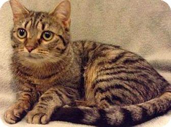 Domestic Shorthair Cat for adoption in Cincinnati, Ohio - Wednesday