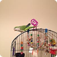 Adopt A Pet :: Tango - St. Louis, MO