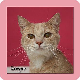 American Shorthair Cat for adoption in Aiken, South Carolina - Ginger
