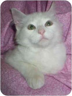 Domestic Mediumhair Kitten for adoption in Aledo, Illinois - Lex Luther
