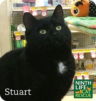 Domestic Shorthair Kitten for adoption in Oakville, Ontario - Stuart